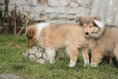 Gorgeous Scotch Collie puppies — Stock Photo