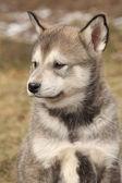 портрет щенка аляскинский маламут — Стоковое фото
