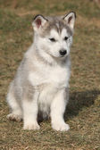 Puppy of Alaskan Malamute in spring — Stock Photo