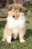 Adorable puppy of Scotch collie sitting in the garden — Stock Photo