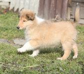 Gorgeous puppy of Scotch collie in the garden — Photo