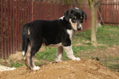 Adorable puppy of Collie Smooth in the garden — Stock Photo