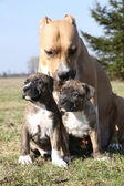 Nice Stafford with puppies sitting together in the grass — 图库照片