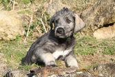 Nice Irish Wolfhound puppy — Stock Photo