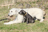 Gorgeous Irish Wolfhound parenting the young one — Stok fotoğraf