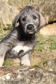 Schöne Irish Wolfhound Welpen betrachten Sie — Stockfoto