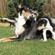 Bitch of Collie Smooth with its puppies lying in garden — Stock Photo #40710605