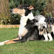 Bitch of Collie Smooth with its puppies lying in garden — Stock Photo #40710647