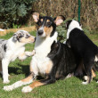 Bitch of Collie Smooth with its puppies lying in garden — Stock Photo #40711083