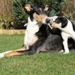 Bitch of Collie Smooth with its puppies lying in garden — Stock Photo #40711127