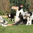 Bitch of Collie Smooth with its puppies lying in garden — Stock Photo #40711153