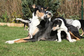 Bitch of Collie Smooth with its puppies lying in the garden — ストック写真
