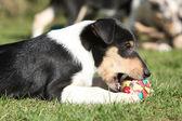 可爱的小狗牧羊犬顺利在花园里 — 图库照片