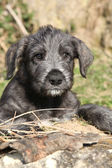 Nice Irish Wolfhound puppy looking at you — Stock Photo