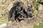 Two puppies of Irish Wolfhound in the garden — Stock Photo