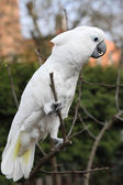 White bird parrot cockatoo — Stock Photo
