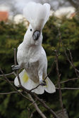Sulphur-crested Cockatoo Parrot dancing on some tree — Stock Photo