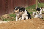 Puppy of Collie Smooth moving in the garden — Stock Photo