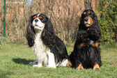 Cavalier King Charles Spaniel with English Cocker Spaniel in the — Stock Photo