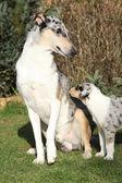 Bel cane di collie liscio spaventato della genitorialità — Foto Stock