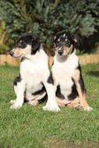 Gorgeous puppies of Collie Smooth in the garden — Stock Photo