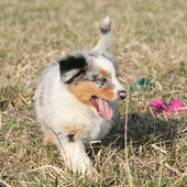 Puppy of Australian Shepherd Dog moving outside — Stockfoto