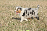 Puppy of Australian Shepherd Dog moving outside — Stock Photo