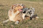 Beautiful Australian Shepherd Dog with its puppy — Foto Stock