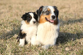 Beautiful Australian Shepherd Dog with its puppy — Foto Stock
