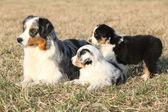 美丽的澳大利亚牧羊犬与它的小狗 — 图库照片