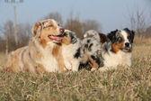 Bellissimo cane pastore australiano con i suoi cuccioli — Foto Stock