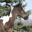 Beautiful skewbald foal in spring — Stock Photo