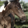 Beautiful skewbald foal in spring — Stock Photo #43394537