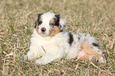 Nice puppy of Australian Shepherd Dog in early spring grass — Stock Photo