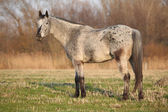Gorgeous appaloosa standing in nature — Foto de Stock