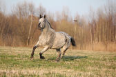 Gorgeous appaloosa running in spring nature — Zdjęcie stockowe