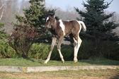 Skewbald foal running in outdoor — Foto Stock