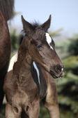 Beautiful skewbald foal in spring — Stock Photo