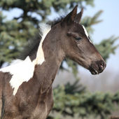 Beautiful skewbald foal in spring — Zdjęcie stockowe
