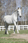 White warmblood running on pasturage — Stock Photo
