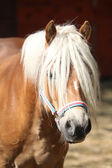 Beautiful haflinger with colorfull halter — Stock Photo