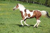 Yegua de caballo hermosa pintura en pastos — Foto de Stock