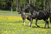 Amazing mare with little foal running on spring pasturage — Stock Photo