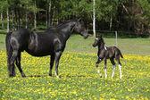 Krásná klisna s malým hříbě na jaře pastvin — Stock fotografie