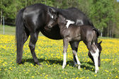 Beautiful mare with little foal on spring pasturage — Photo