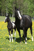 Beautiful mare with little foal on spring pasturage — Stock fotografie