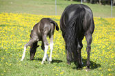 Beautiful mare with little foal on spring pasturage — Stock Photo