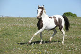 Gorgeous spotted horse running on spring pasturage — Stock Photo