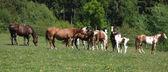 Muy diversos lotes de caballos corriendo en pastos — Foto de Stock