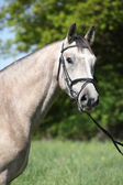 Potrait of beautiful horse with bridle — Stock Photo